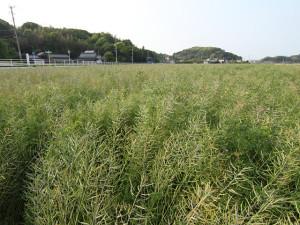 遠賀町の菜種畑
