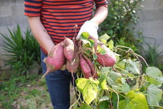 じゃーんこんなにりっぱな芋が採れました