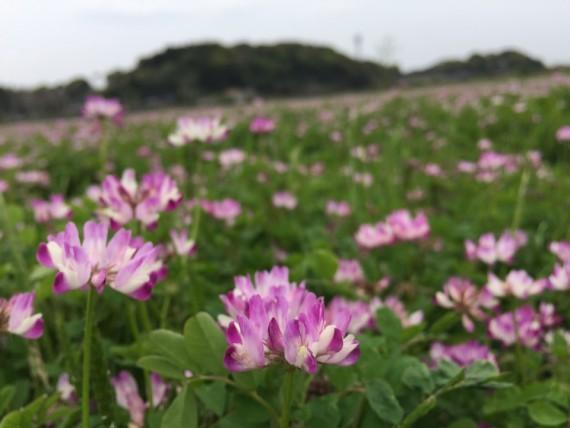 遠賀町のれんげ畑