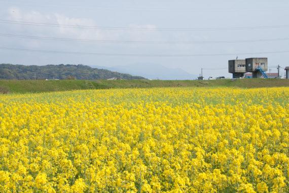 遠賀町のナナシキブの菜の花畑